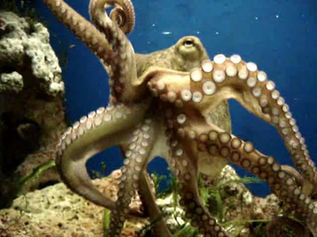 Octopus-3